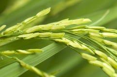 Ungeschälter Reis Lizenzfreie Stockbilder