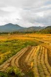 Ungeschälter Reis archivierte Nord-Nan Thailand Stockfotos