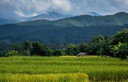 Ungeschälter Reis archivierte Nord-Nan Thailand Stockbilder