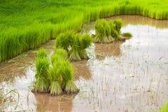 Ungeschälter Reis auf dem Gebiet Lizenzfreie Stockbilder