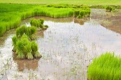 Ungeschälter Reis auf dem Gebiet Stockfotos