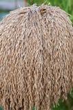 Ungeschälter Reis auf dem Gebiet Lizenzfreie Stockfotografie