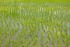 Ungeschälter Reis auf dem Gebiet Stockfotografie