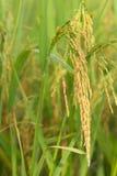 Ungeschälter Reis auf dem Reisgebiet Stockfotografie