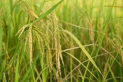 Ungeschälter Reis auf dem Reisgebiet Lizenzfreies Stockbild