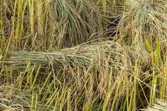 Ungeschälter Reis auf dem Reisgebiet Lizenzfreie Stockfotografie