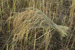 Ungeschälter Reis auf dem Reisgebiet Stockbild