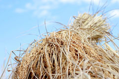 Ungeschälter Reis, Reiskorn-Ertragspitzen Stockfoto