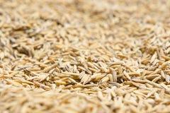 Ungeschälter Reis, ungeschälter Reis hat, nicht heraus zu schälen Lizenzfreies Stockfoto