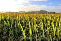 Ungeschälter Reis unter dem Sonnenschein Lizenzfreies Stockbild