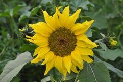 Ungesehene Sonnenblume der Nachsaison stockfotografie