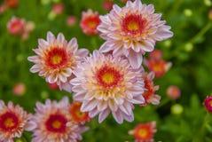 Ungesehene Thailand-Chrysantheme von lopburi Stockfotografie