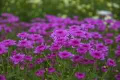 Ungesehene Thailand-Chrysantheme von lopburi Stockbild