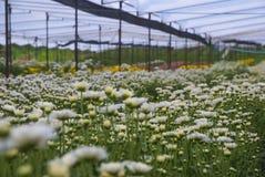 Ungesehene Thailand-Chrysantheme von lopburi Stockbilder