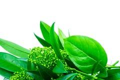 Ungewöhnliche Grünpflanze auf einem weißen lokalisierten Hintergrund lizenzfreies stockbild