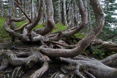 Ungewöhnliche Form- oder Baumstämme am Berg Roberts, Alaska, Abschluss oben Stockfotos