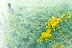 Ungewöhnliche gelbe Blume und Lavendel in meinem Garten Lizenzfreies Stockbild