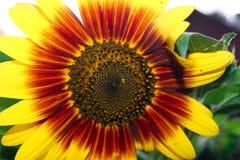 Ungewöhnliche rote und gelbe dekorative Sonnenblume stockfotografie