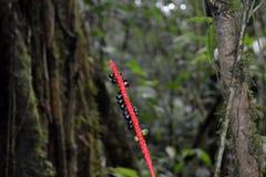 Ungewöhnliche schwarze Früchte der wilden Feige auf rotem Stiel in Moteverde Costa Rica lizenzfreies stockfoto