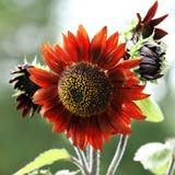 Ungewöhnliche Sonnenblume oder Helianthus, rot oder orange, Knospen und Blüte Stockfoto