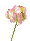 Ungewöhnliche veränderte Tulpe lizenzfreie stockbilder