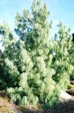 Ungewöhnlicher Baum von der Klasse von Nadelbäumen: Casuarina lizenzfreies stockbild