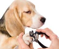 Unghie del piede del cane di taglio del veterinario Isolato su priorità bassa bianca Immagine Stock