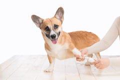 Unghie del piede irriconoscibili della macinazione del cane della tenuta di medico della donna Fotografia Stock Libera da Diritti