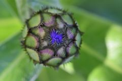 Ungkarl Bud Purple Petals 02 Royaltyfri Foto