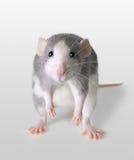 Unglückliche Ratte