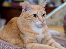 Unglücklicher Ginger Cat Lizenzfreie Stockbilder