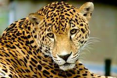 Unglückliches Jaguar Lizenzfreie Stockfotos