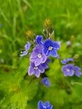 Unglaublich nettes, kleines Blau mit den wei?en, violetten Blumen stockfoto