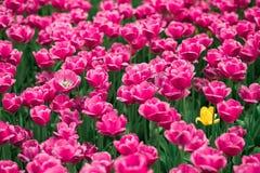 Unglaublich schöne Frühlingsrosatulpen im Moskau-Park stockfotos