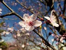 Unglaublich schöne rosa Blumen auf Niederlassungen von wilden Äpfeln am Anfang des Frühlinges am sonnigen Tag lizenzfreie stockbilder