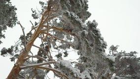 Unglaublich schöne schneebedeckte Oberteile Kiefer in den Waldgrünnadeln auf Niederlassungen im Winter stock video