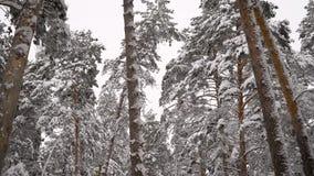 Unglaublich schöne schneebedeckte Oberteile Kiefer in den Waldgrünnadeln auf Niederlassungen im Winter Kamerabewegungen stock footage