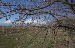 Unglaubliche Ansicht über Ararat-Berg und -weinberge durch Niederlassungen des Blütenaprikosenbaums armenien Stockbilder