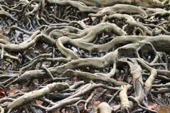 Unglaubliche Mangrove Forest Tree Roots, Thailand Lizenzfreie Stockbilder