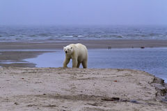 Unglaubliches arktisches Foto, wild lebende Tiere, Eisbären Stockfoto