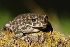 Ungly toad Royalty Free Stock Photo