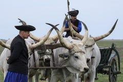 Ungrare Grey Steer och herdar fotografering för bildbyråer
