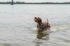Ungrare Vizsla som har gyckel i vattnet Fotografering för Bildbyråer