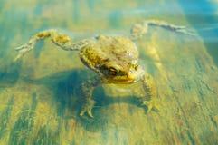 Ungry żaba w wodzie Obraz Royalty Free