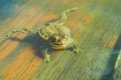 Ungry żaba w wodzie Zdjęcia Stock