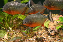 Ungry fishes. A little malicious and hungry пираний in an aquarium Stock Photos