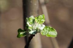 Ungt äppleträd Royaltyfri Foto