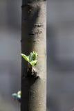 Ungt äppleträd Royaltyfri Fotografi