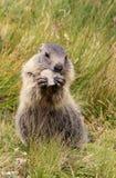 Ungt äta för murmeldjur Fotografering för Bildbyråer