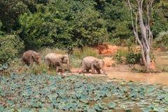 Ungt bada för asiatiska elefanter Royaltyfri Foto